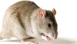 Фото - Алергія на мишей