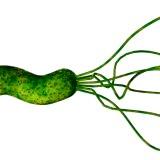 Фото - Фото - Дія бактерії Helicobacter pylori