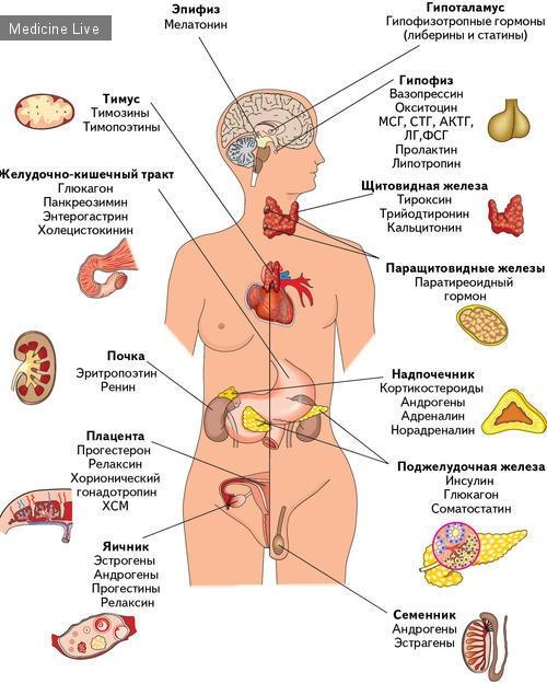 Фото - ендокринна система людини з гормонами