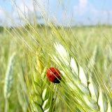 Фото - Фото - Як правильно використовувати масло зародків пшениці