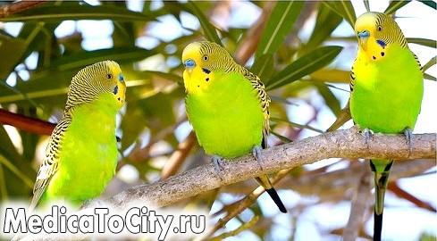 Фото - Зелені папуги