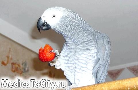 Фото - Папуга їсть полуницю