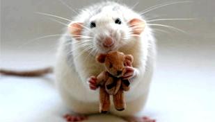 Фото - Алергія на щурів