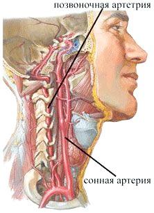 Фото - Будова шиї, сонна і хребетна артерії