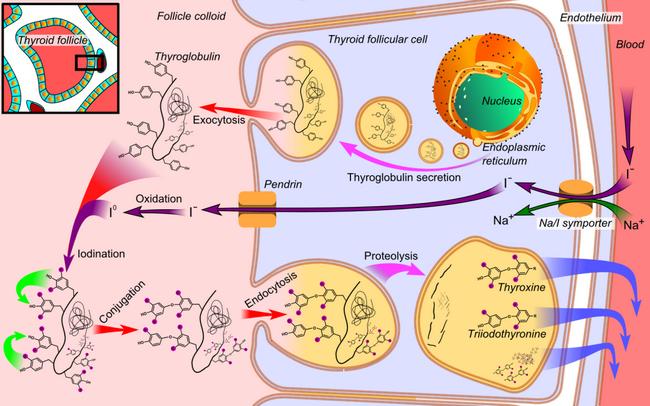 Фото - Синтез тироксину в фолікулах щитоподібної залози