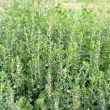Фото - Фото - Показання до застосування трави спориш