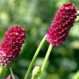 Фото - Фото - Корисні властивості рослини кровохлебка