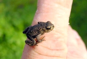 Фото - Фото маленької жаби на пальці феловека до статті про засоби від бородавок
