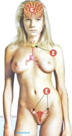 Фото - 1. щитовидна залоза 2. гіпофіз 3. яєчники