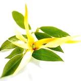 Фото - Фото - Властивості ефірного масла іланг-іланг