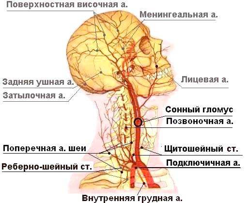 Фото - хребетна артерія, що проходить в шийному відділі хребта