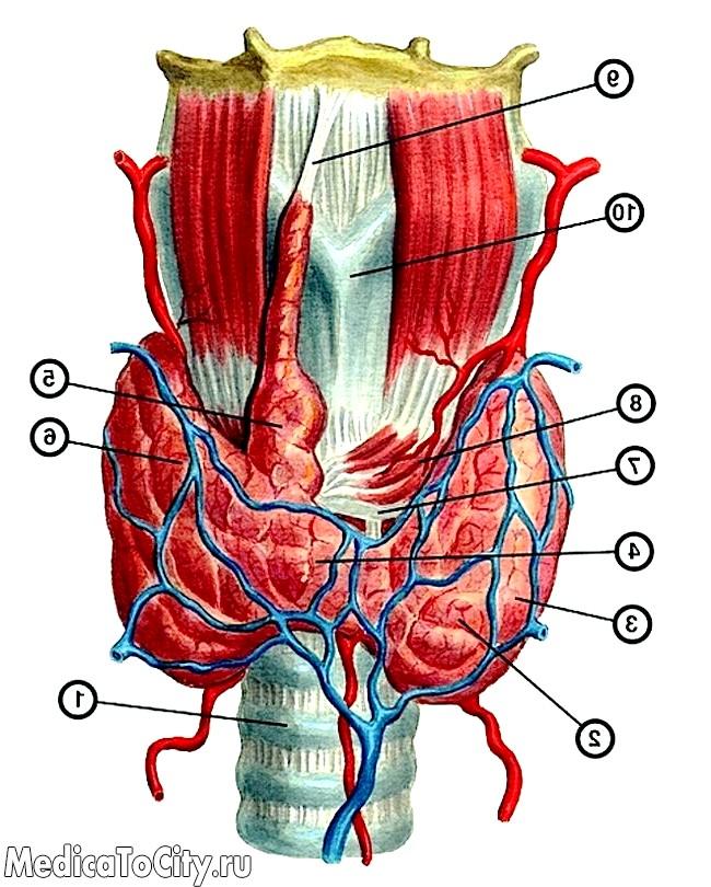 Фото - нормальну будову щитовидної залози