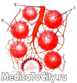 Фото - фолікули щитовидної залози