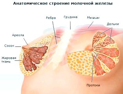 Фото - Будова молочної залози