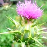 Фото - Фото - Лікувальні властивості трави расторопша