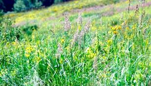 Фото - Алергія на лугові трави
