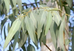 Фото - Зображення листя евкаліпта до статті про лікування контагіозного моллюка народними способами