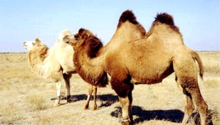 Фото - Алергія на верблюжа шерсть
